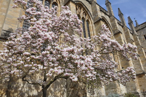 Magnolia tree in full bloom outside the Chapel