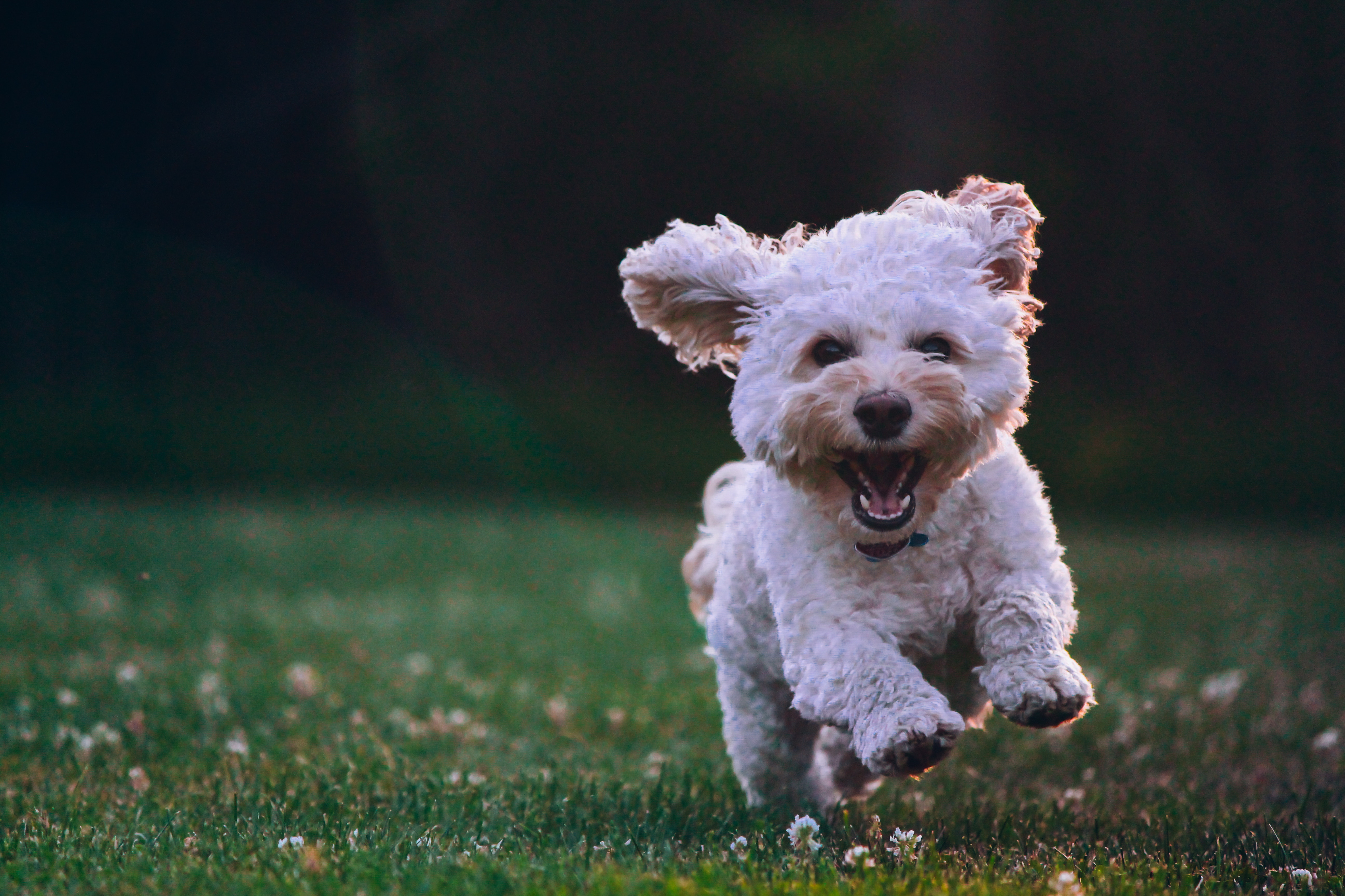 Puppy running happily